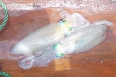 Zanzibar - calamar