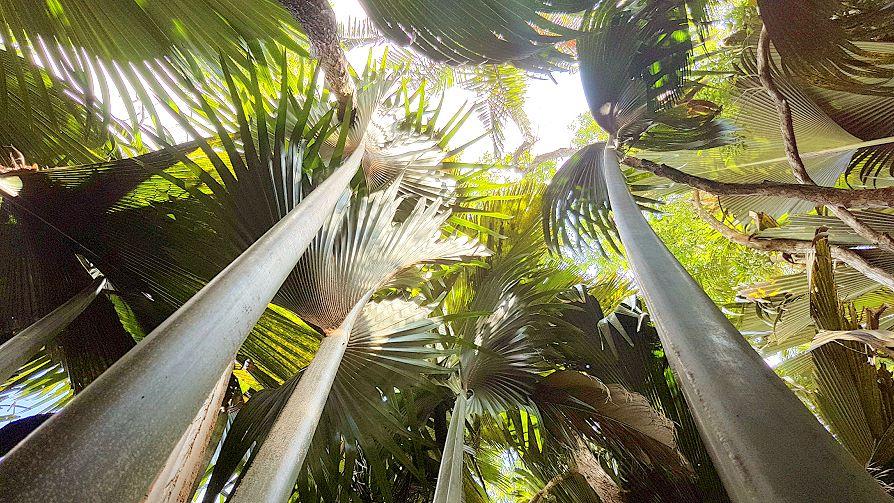 Palmes géantes de la Vallée de Mai à Praslin, Seychelles.