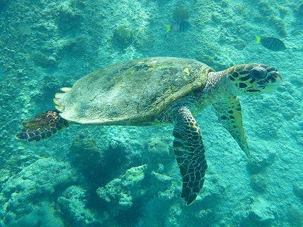 Tortue marine ilot Saint Pierre Seychelles
