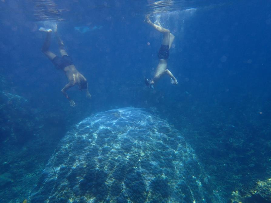 Corail bleu starlette massif géant à Koh Tao, Thaïlande, VANDJOUR père et fils