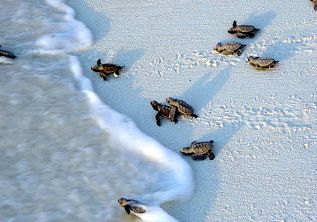 Praslin - Tortues vers l'océan indien